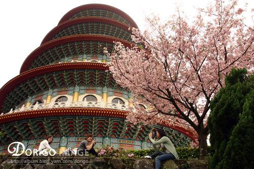天元宮 櫻花開了